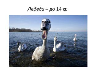 Лебеди – до 14 кг.