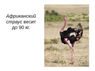 Африканский страус весит до 90 кг.
