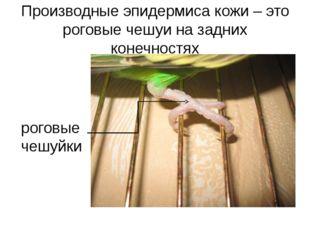 Производные эпидермиса кожи – это роговые чешуи на задних конечностях роговые
