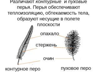 Различают контурные и пуховые перья. Перья обеспечивают теплоизоляцию, обтека