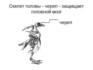 Скелет головы - череп - защищает головной мозг череп