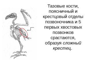 Тазовые кости, поясничный и крестцовый отделы позвоночника и 5 первых хвостов