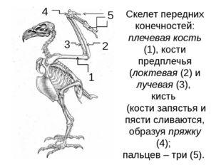 Скелет передних конечностей: плечевая кость (1), кости предплечья (локтевая (