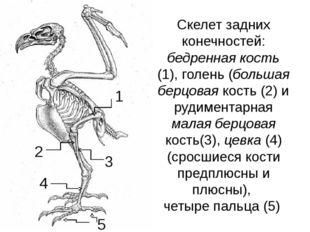 Скелет задних конечностей: бедренная кость (1), голень (большая берцовая кост