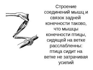 Строение соединений мышц и связок задней конечности таково, что мышцы конечно