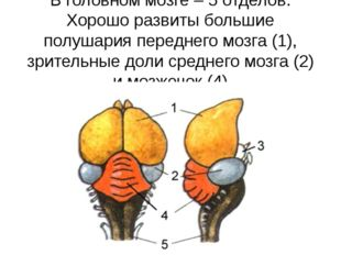 В головном мозге – 5 отделов. Хорошо развиты большие полушария переднего мозг