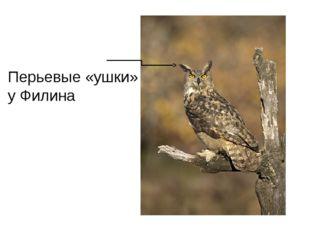 Перьевые «ушки» у Филина