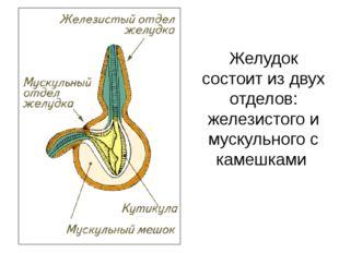 Желудок состоит из двух отделов: железистого и мускульного с камешками