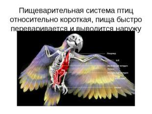 Пищеварительная система птиц относительно короткая, пища быстро перевариваетс