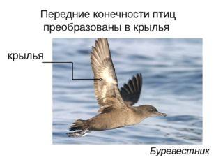Передние конечности птиц преобразованы в крылья крылья Буревестник
