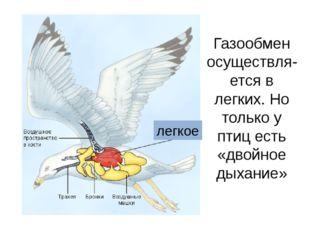 Газообмен осуществля-ется в легких. Но только у птиц есть «двойное дыхание» л