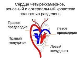 Сердце четырехкамерное, венозный и артериальный кровотоки полностью разделены