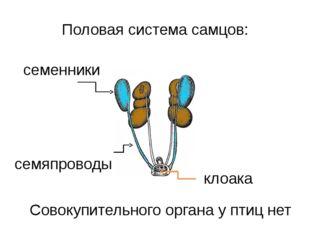 Половая система самцов: семенники семяпроводы Совокупительного органа у птиц