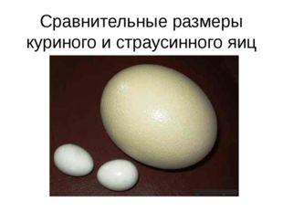 Сравнительные размеры куриного и страусинного яиц