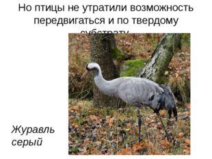 Но птицы не утратили возможность передвигаться и по твердому субстрату Журавл