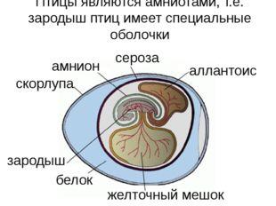 желточный мешок зародыш белок аллантоис сероза амнион скорлупа Птицы являются