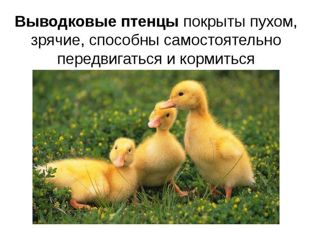 Выводковые птенцы покрыты пухом, зрячие, способны самостоятельно передвигатьс...