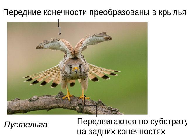 Пустельга Передние конечности преобразованы в крылья Передвигаются по субстра...