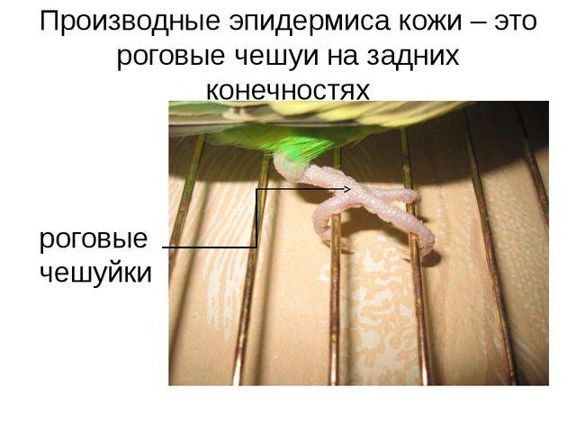 Производные эпидермиса кожи – это роговые чешуи на задних конечностях роговые...