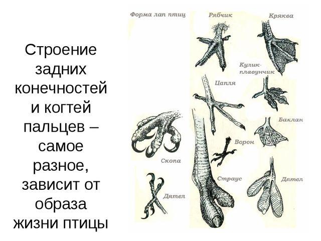 Строение задних конечностей и когтей пальцев – самое разное, зависит от образ...