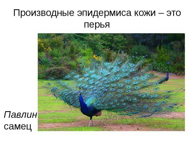 Производные эпидермиса кожи – это перья Павлин самец