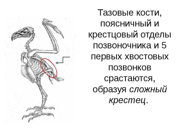Тазовые кости, поясничный и крестцовый отделы позвоночника и 5 первых хвостов...