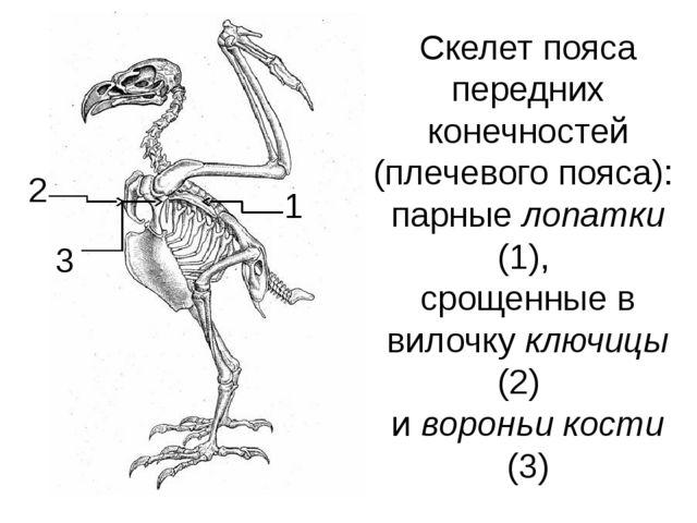 Скелет пояса передних конечностей (плечевого пояса): парные лопатки (1), срощ...