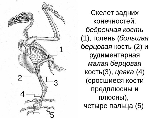 Скелет задних конечностей: бедренная кость (1), голень (большая берцовая кост...