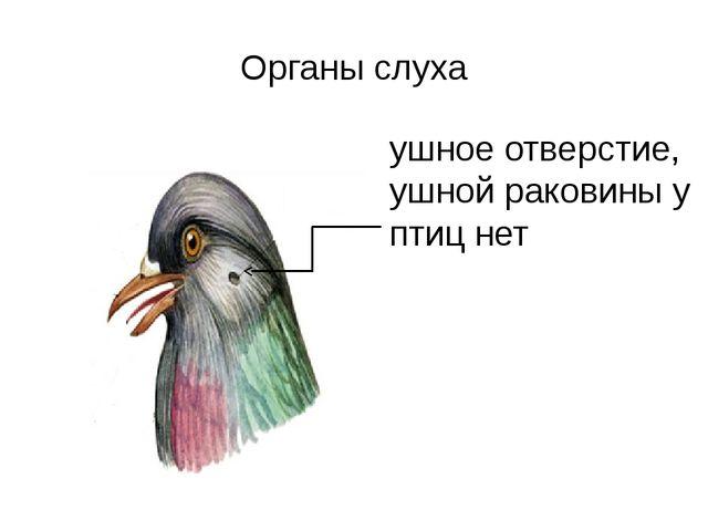 Органы слуха ушное отверстие, ушной раковины у птиц нет