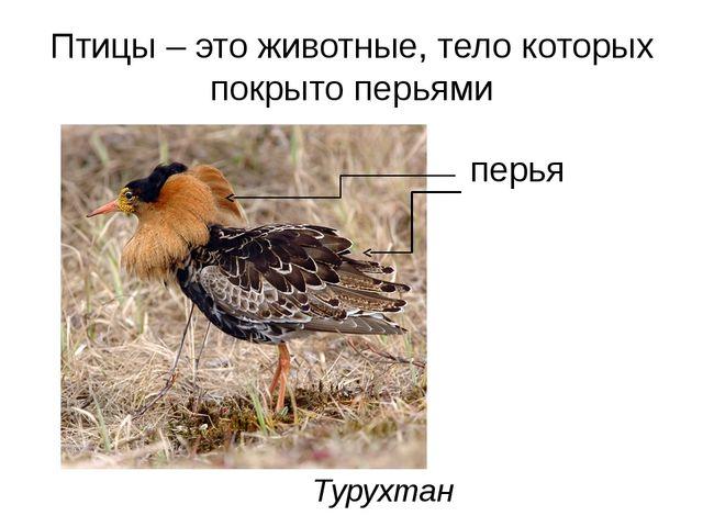 Птицы – это животные, тело которых покрыто перьями Турухтан перья