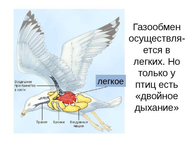 Газообмен осуществля-ется в легких. Но только у птиц есть «двойное дыхание» л...