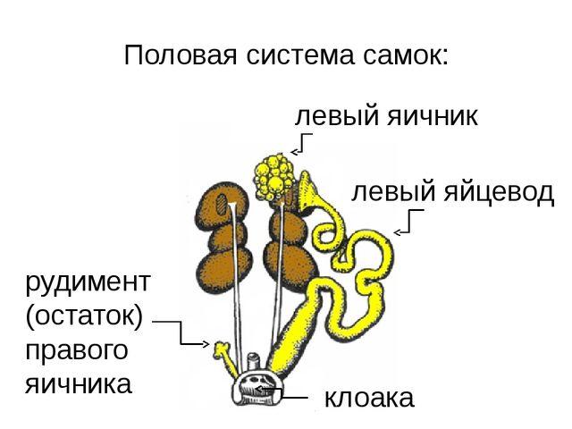 Половая система самок: левый яичник левый яйцевод клоака рудимент (остаток) п...