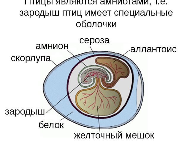 желточный мешок зародыш белок аллантоис сероза амнион скорлупа Птицы являются...