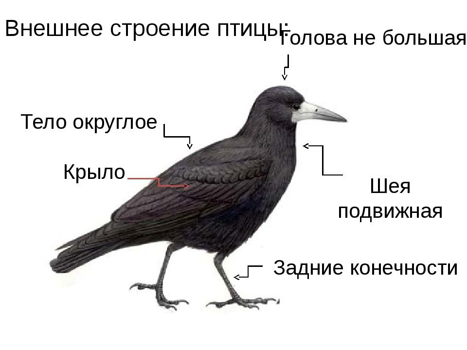 Тело округлое Голова не большая Шея подвижная Внешнее строение птицы: Крыло З...