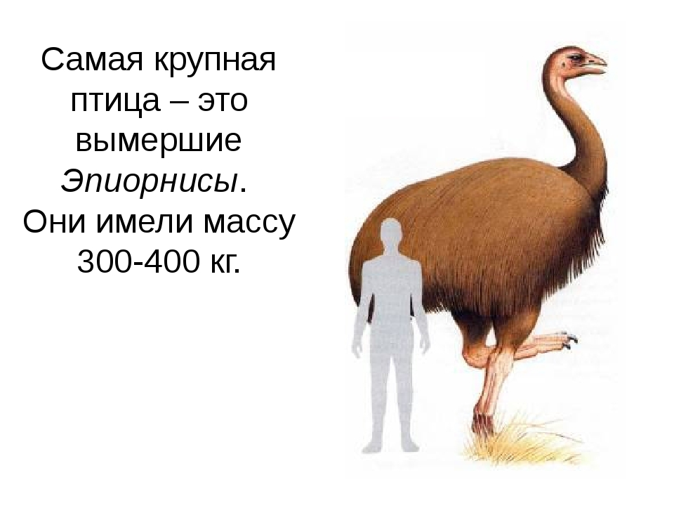 Самая крупная птица – это вымершие Эпиорнисы. Они имели массу 300-400 кг. Оби...