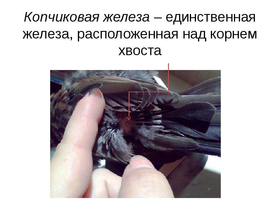 Копчиковая железа – единственная железа, расположенная над корнем хвоста
