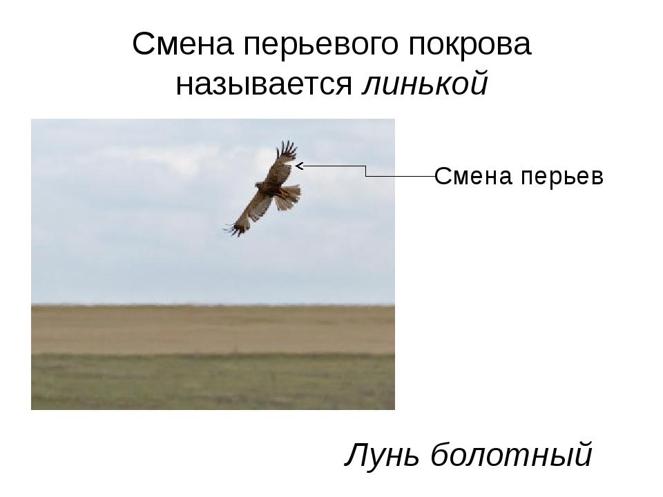 Смена перьевого покрова называется линькой Лунь болотный Смена перьев