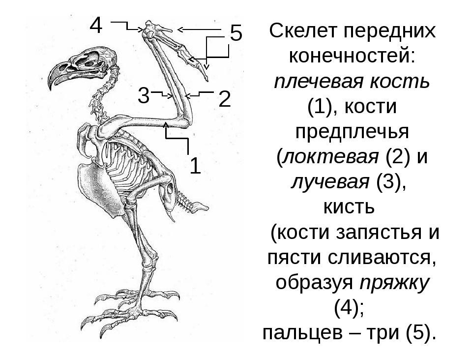 Скелет передних конечностей: плечевая кость (1), кости предплечья (локтевая (...