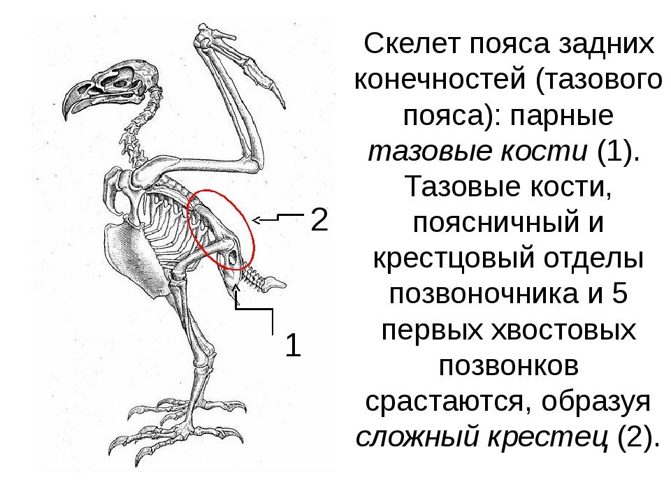 Скелет пояса задних конечностей (тазового пояса): парные тазовые кости (1). Т...