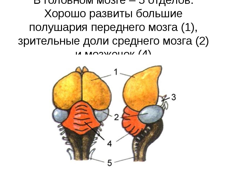 В головном мозге – 5 отделов. Хорошо развиты большие полушария переднего мозг...