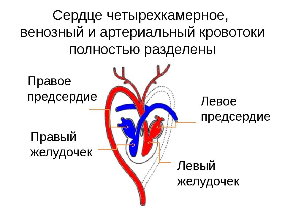 Сердце четырехкамерное, венозный и артериальный кровотоки полностью разделены...