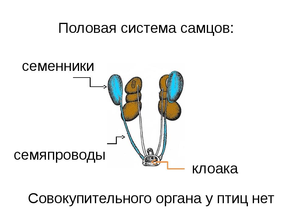 Половая система самцов: семенники семяпроводы Совокупительного органа у птиц...