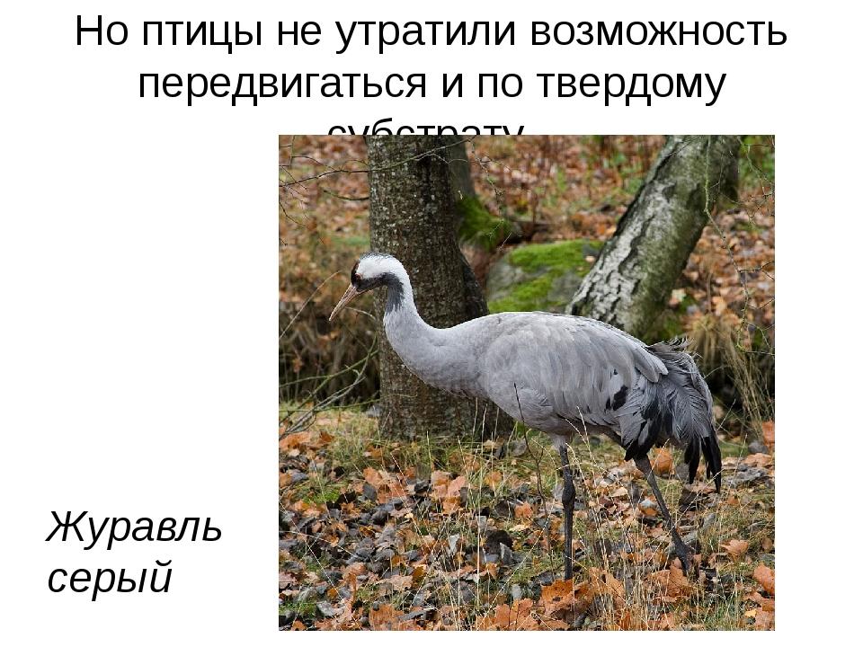 Но птицы не утратили возможность передвигаться и по твердому субстрату Журавл...
