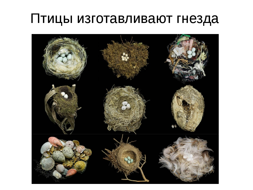 Птицы изготавливают гнезда