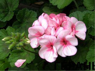 № 1 Древние греки находили, что плоды этого цветка похожи на журавлиные клювы