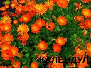№ 11 С латинского языка название этого цветка переводится как «календарь». Он