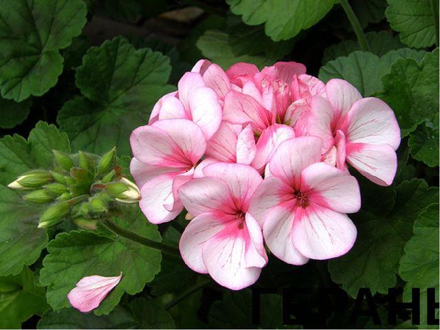 № 1 Древние греки находили, что плоды этого цветка похожи на журавлиные клювы...
