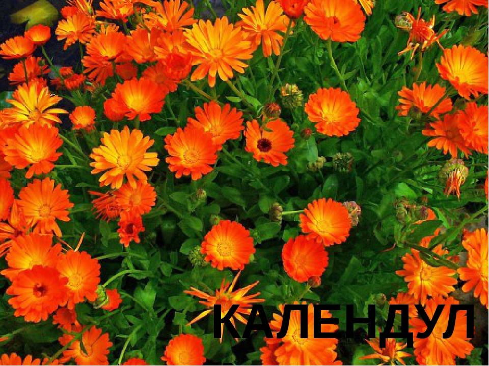 № 11 С латинского языка название этого цветка переводится как «календарь». Он...