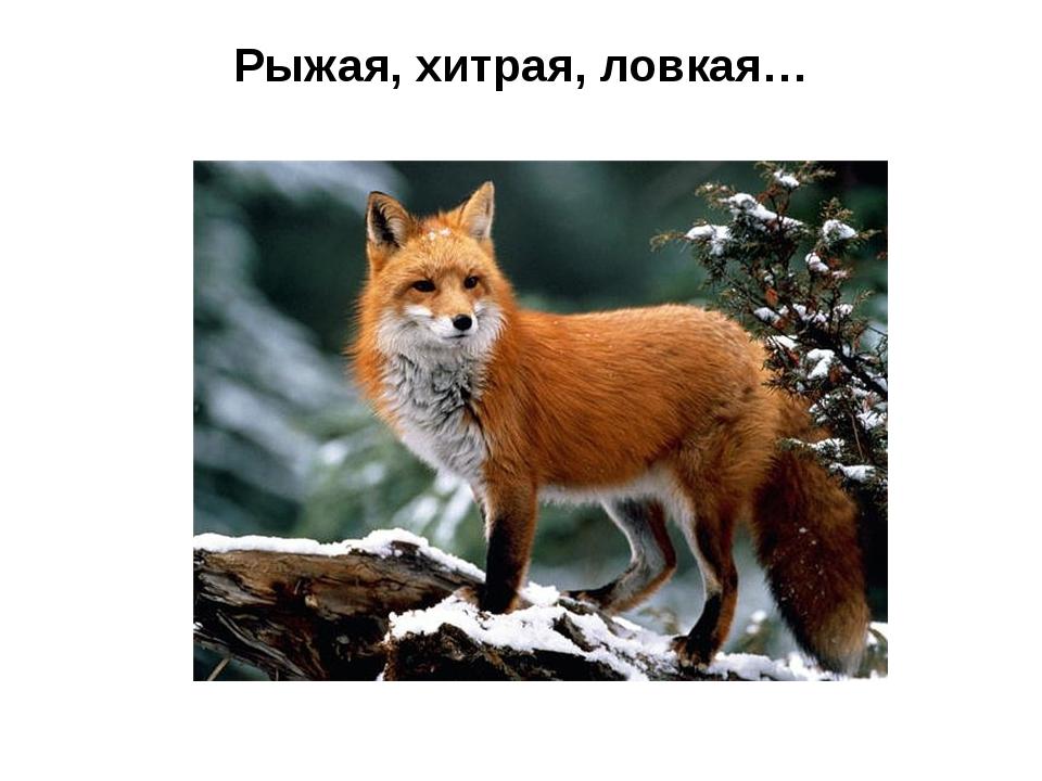 Рыжая, хитрая, ловкая…