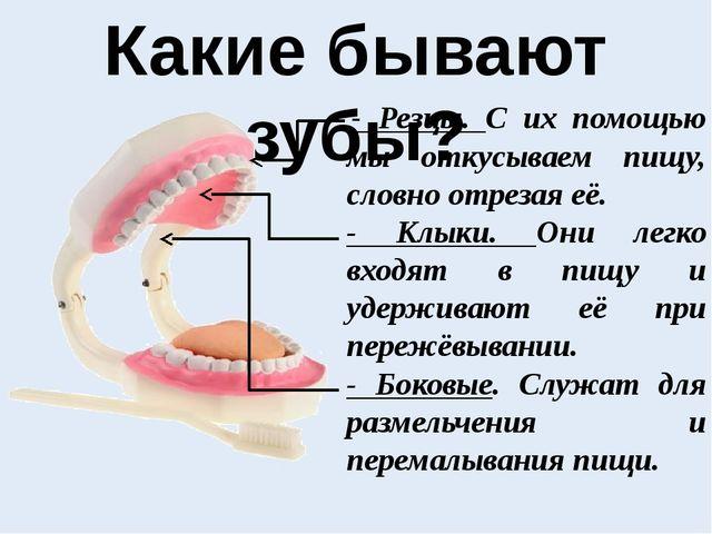 Какие бывают зубы? - Резцы. С их помощью мы откусываем пищу, словно отрезая...